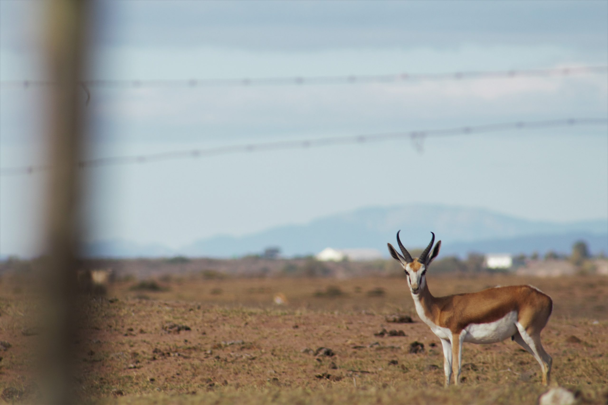 Beautiful springbuck at Kuifkopvisvanger