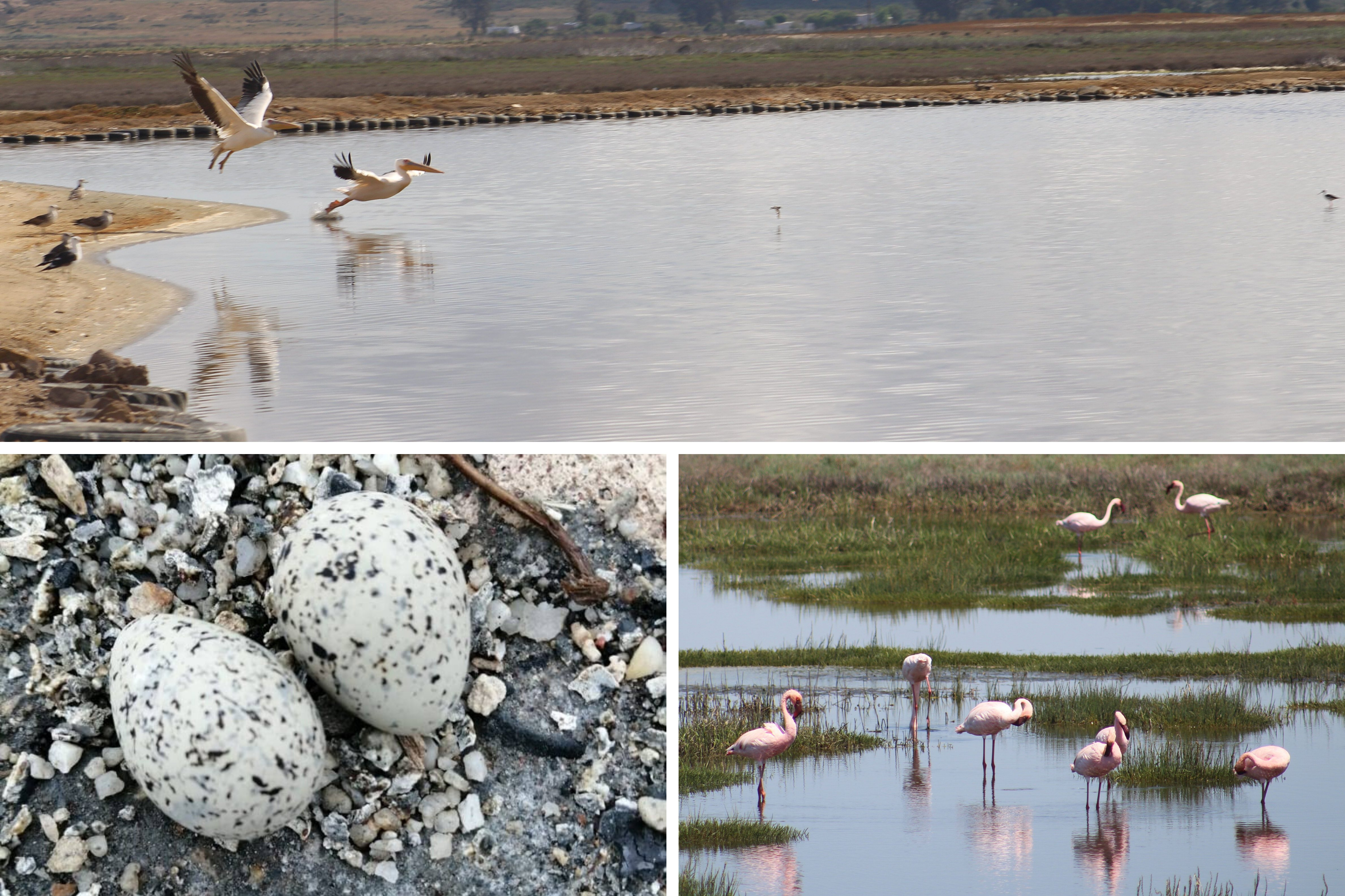 Kuifkopvisvanger - Birding, self catering accommodation in Velddrif, Berg River 3
